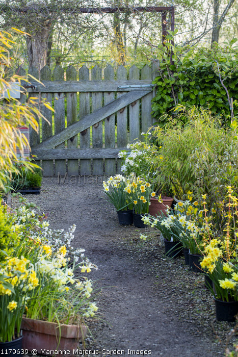 View along path lined with daffodils in containers to wooden gate