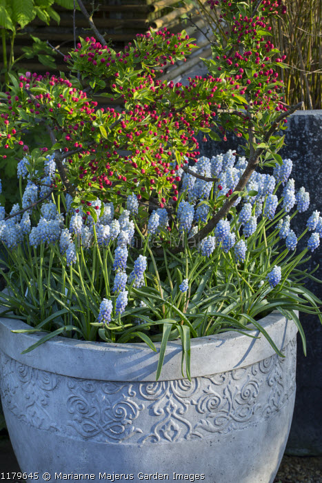 Muscari 'Peppermint' in decorative container