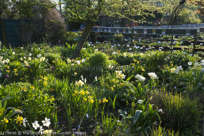 Spring border with tulips and narcissus