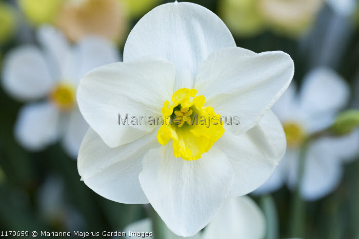 Narcissus 'Langwith'