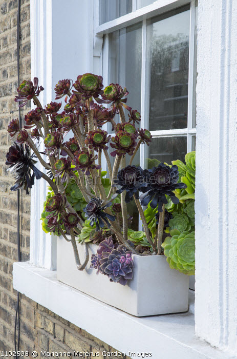 Aeonium arboreum in trough on window ledge