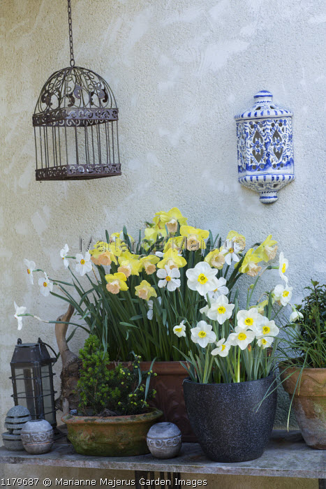 Narcissi 'Lorikeet' and 'Langwith' in containers, bird cage