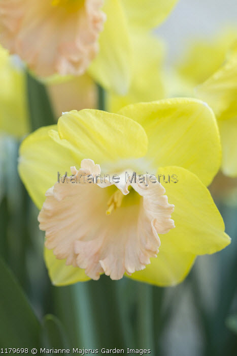 Narcissus 'Lorikeet'