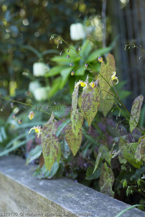 Epimedium 'Melissa' in raised bed
