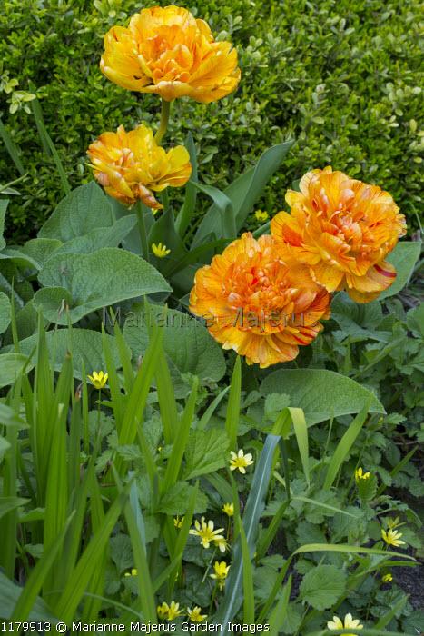 Tulipa 'Soleil Levant'
