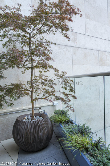 Acer palmatum dissectum 'Tamukeyama' in container, Hebe pinguifolia 'Pagei' and Ophiopogon planiscapus 'Nigrescens' in trough, glass screen