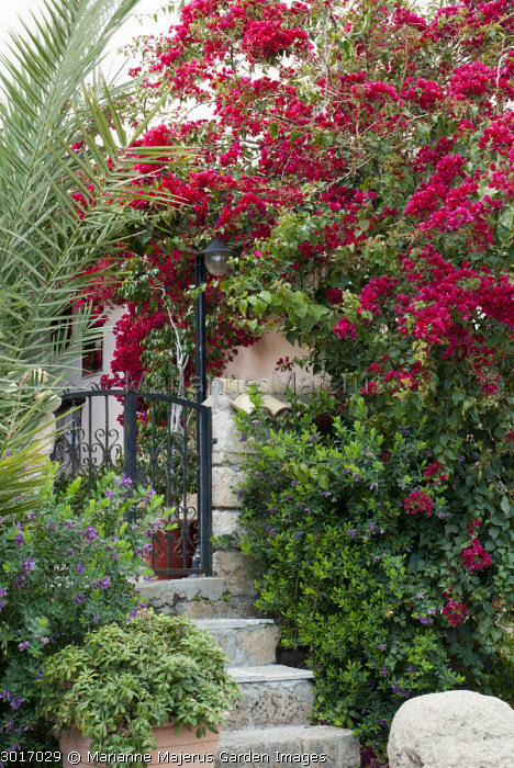 Bougainvillea by front gate