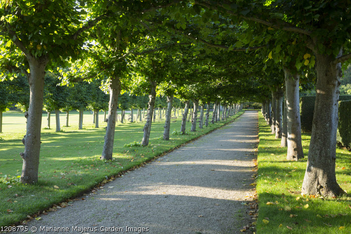 Double avenue of Tilia platyphyllos 'Rubra'