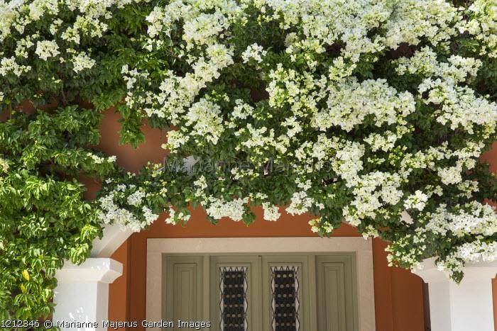 White bougainvillea over door