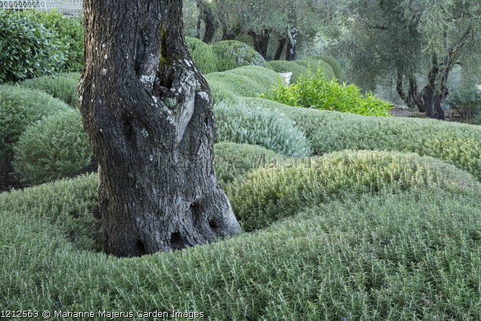 Clipped Rosmarinus officinalis and Westringia fruticosa, olive trees