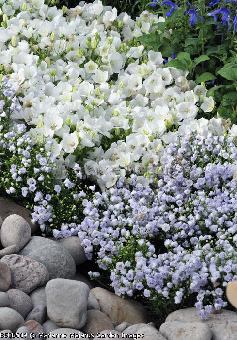 Compact campanula in rock garden