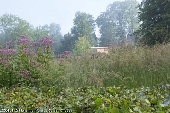 Molinia caerulea subsp. caerulea 'Moorhexe', beech hedge, Eupatorium maculatum (Atropurpureum Group) 'Riesenschirm'