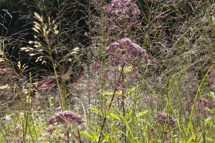 Molinia caerulea subsp. caerulea 'Heidebraut', Stipa gigantea, Eupatorium maculatum (Atropurpureum Group) 'Riesenschirm'