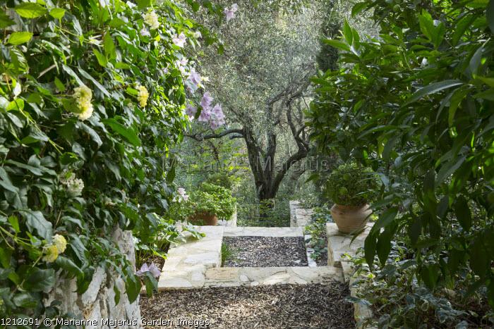 Mediterranean garden, stone terrace, olive trees, Lantana camara, bougainvillea