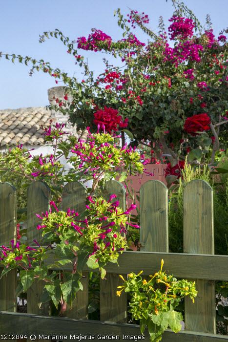 Picket fence, Mirabilis jalapa, bougainvillea, rose