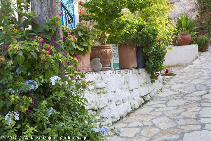 Mediterranean patio, bougainvillea and hydrangea in container, Plumbago auriculata, Mirabilis jalapa