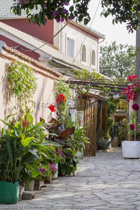 Cannas in containers against pink painted wall in mediterranean garden, bougainvillea