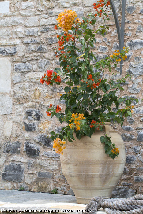 Bougainvillea in large terracotta urn