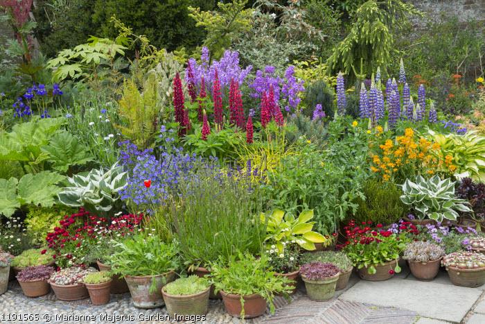 Colourful collection pots on patio, Lupinus 'The Page' (Band of Nobles Series), hosta, Bellis perennis, Echium vulgare, Senecio polyodon, erodium, sempervivums, erysimum, Osmunda regalis