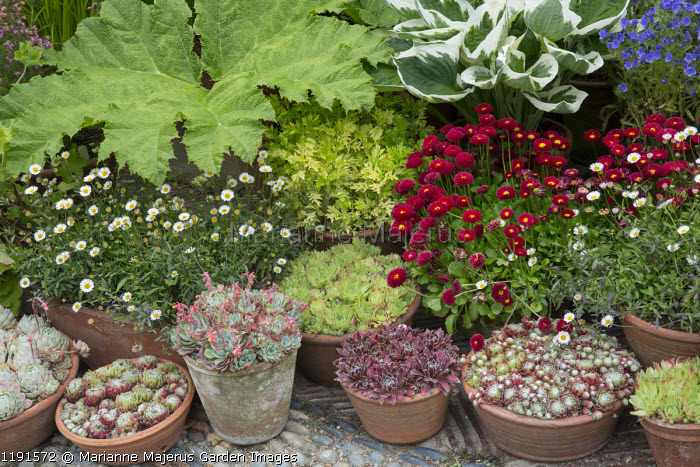 Bellis perennis, hosta, sempervivums and echveria in pots on patio, Gunnera manicata leaf