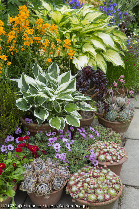 Wallflowers, hostas, succulents and sempervivums in terracotta pots