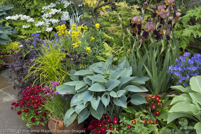 Collection of pots, Hosta 'Halcyon', Bellis perennis, irises, Sorbaria sorbifolia 'Sem', viburnum