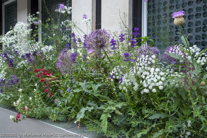 Narrow raised bed with Allium cristophii, Ammi majus, Stemmacantha centaureoides, Salvia viridis 'Marble Arch Blue' (Marble Arch Series)