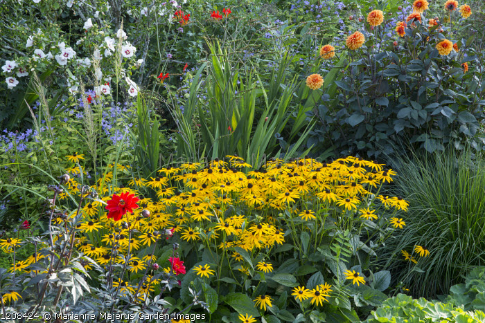 Rudbeckia fulgida var. sullivantii 'Goldsturm', Dahlia 'David Howard', Crocosmia 'Lucifer', Hibiscus syriacus 'Red Heart'