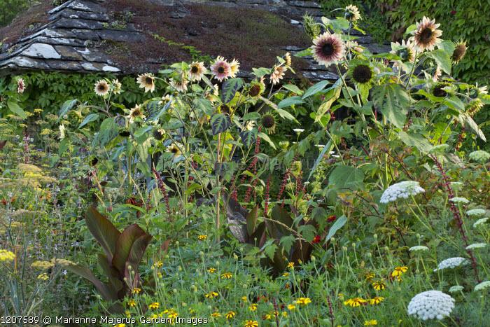 Salvia confertiflora, Ammi visnaga, Helianthus annuus 'Magic Roundabout' in border, Tagetes patula 'Harlequin', canna leaves