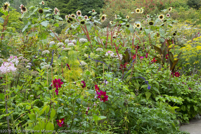 Salvia confertiflora, Ammi visnaga, dahlia, Helianthus annuus 'Magic Roundabout' in border