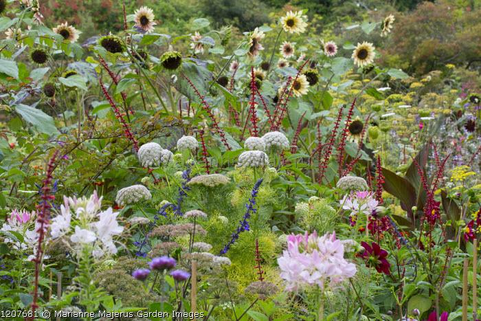 Salvia confertiflora, Ammi visnaga, Cleome hassleriana 'Rose Queen', Helianthus annuus 'Magic Roundabout' in border