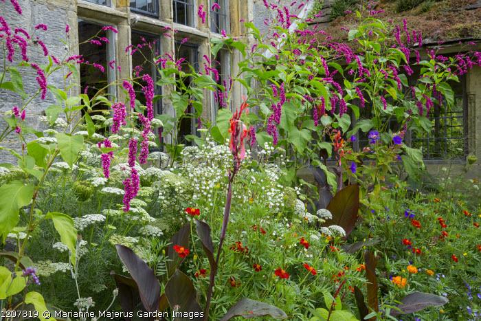 Persicaria orientalis, Ammi majus, Tagetes 'Cinnabar', Canna indica 'Purpurea', Erigeron annuus