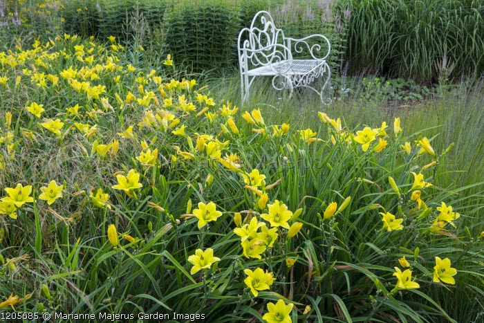 Hemerocallis 'Green Flutter', white metal bench