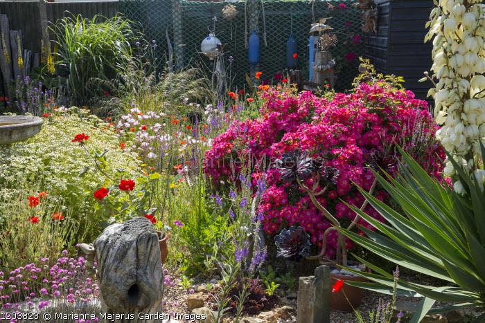 Seaside Themed Garden Rosa Hertfordshire Syn Kortenay Yucca Gloriosa