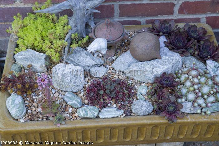 Sempervivums and sedum in ceramic trough, driftwood