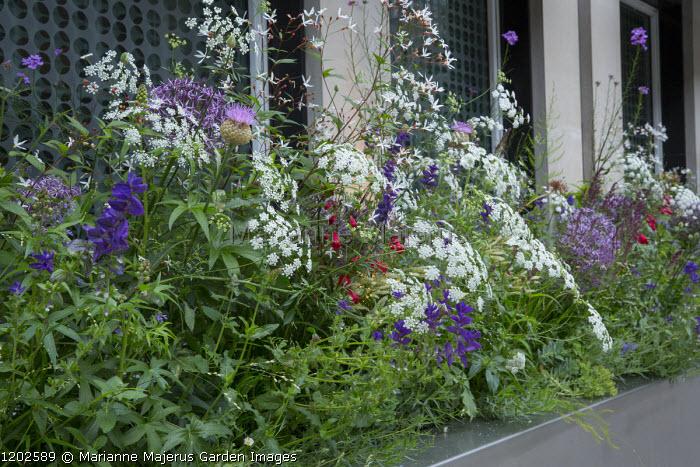 Allium cristophii, Ammi majus, Stemmacantha centaureoides, Gillenia trifoliata in windowbox