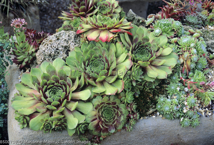Sempervivum 'Commander Hay' in alpine trough