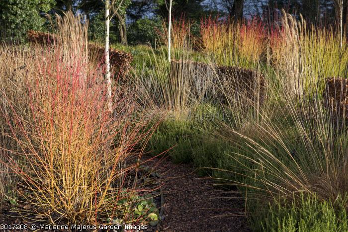 Cornus sanguinea 'Midwinter Fire' in border, Molinia caerulea subsp. caerulea 'Heidebraut', bark chippings path, low beech hedge