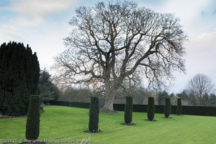 Walnut tree, row of Taxus baccata 'Fastigiata'