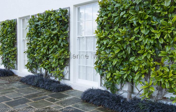 Wall-trained Magnolia grandiflora 'Victoria' underplanted with Ophiopogon planiscapus 'Nigrescens'
