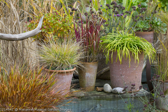 Ornamental grasses in terracotta containers, Deschampsia cespitosa 'Goldtau', Imperata cylindrica 'Rubra', Hakonechloa macra, Ophiopogon planiscapus, Sesleria autumnalis