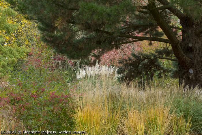 Euonymus europaeus, Molinia caerulea subsp. arundinacea 'Karl Foerster',  Cortaderia 'Sunningdale Silver', Miscanthus yakushimensis syn. Miscanthus sinensis 'Little Kitten', Monterey pine, Pinus radiata