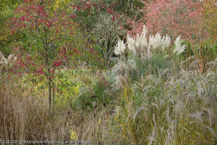 Miscanthus sinensis 'Flamingo', Cortaderia 'Sunningdale Silver', Acer pensylvanicum 'Erythrocladum', Euonymus hamiltonianus subsp. sieboldianus