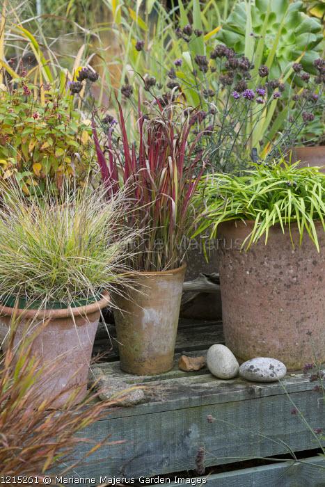 Ornamental grasses in terracotta containers, Deschampsia cespitosa 'Goldtau', Imperata cylindrica 'Rubra', Ophiopogon planiscapus, Verbena bonariensis