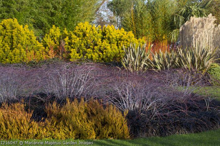 Rubus cockburnianus 'Goldenvale', Pinus mugo 'Winter Gold', Ophiopogon planiscapus 'Nigrescens', Calluna vulgaris 'Robert Chapman', Phormium 'Maori Queen'