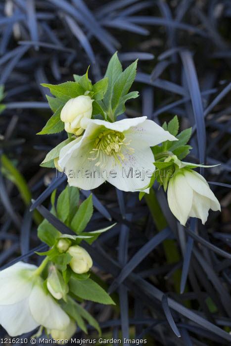 Helleborus x hybridus, Ophiopogon planiscapus 'Nigrescens'