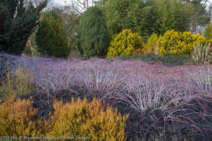Rubus cockburnianus 'Goldenvale', Pinus mugo 'Winter Gold', Ophiopogon planiscapus 'Nigrescens', Calluna vulgaris 'Robert Chapman'