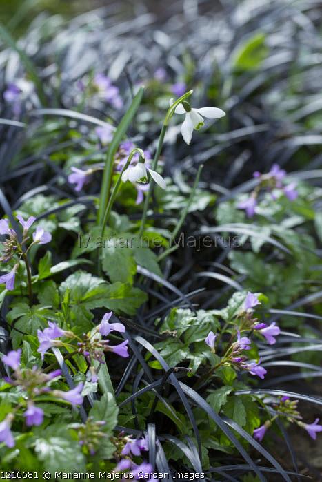 Galanthus, Ophiopogon planiscapus 'Nigrescens', Cardamine quinquefolia