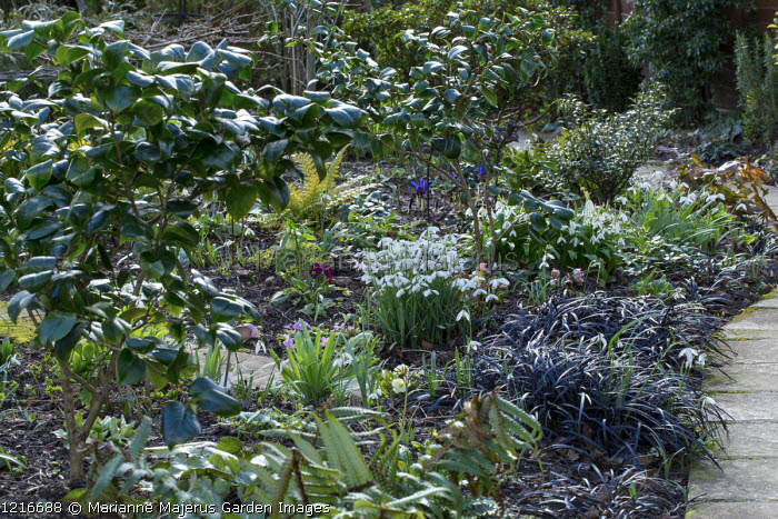 Path through early spring border, galanthus, Ophiopogon planiscapus 'Nigrescens'