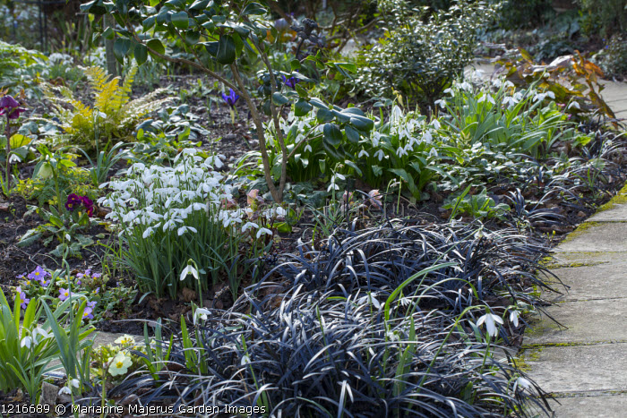 Early spring border, galanthus, Ophiopogon planiscapus 'Nigrescens'